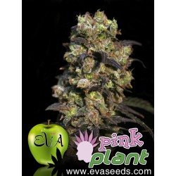 EVA PINK PLANT FEMINIZADA (9 UDS)