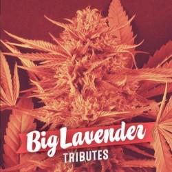 Big Lavender (6 unid)