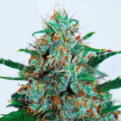 Delicious Seeds Critical Neville Haze Auto 1Und