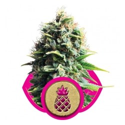 Royal Queen Pineapple Kush 10Und Fem.