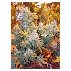 Serious Seeds Double Duth 1unid