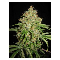 Serious Seeds Auto White Russian 1 unid