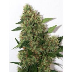 Mandala Seeds Chill-OM 10 unids (R)