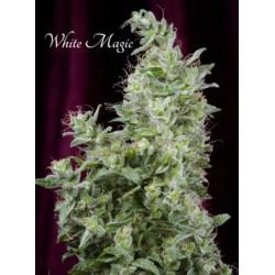 Mandala Seeds White Magic 3 unids