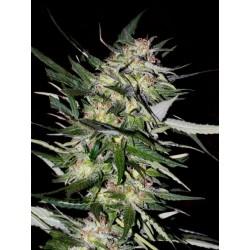 Jack Plant 1 semilla